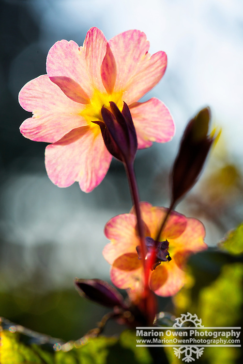 Primrose flower blooms in sunlight, Kodiak, Alaska garden