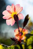 Primrose flower blooms in sunlight, Kodiak, Alaska garden