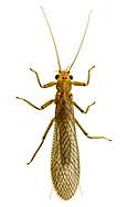 Stonefly (Acroneuria sp.)<br /> ALABAMA: Tuscaloosa Co.<br /> Tulip Tree Springs off Echola Rd.; Elrod<br /> 25-May-2016<br /> J.C. Abbott #2819 &amp; K.K. Abbott
