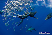 California sea lions, Zalophus californianus, feeding on baitball of sardines, or pilchards, Sardinops sagax, off Baja California, Mexico ( Eastern Pacific Ocean )