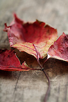 Close-up of autumn leaf - studo shot