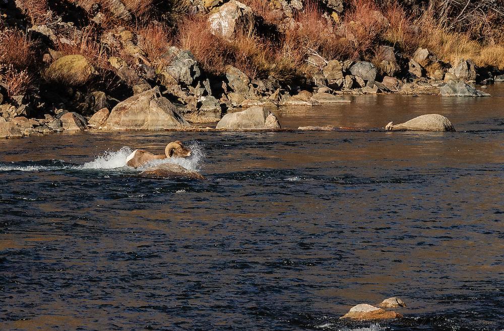 Rocky Mt. Bighorn Sheep [Ovis canadensis] ram crossing river,  rutting season; Bighorn Sheep Canyon, Arkansas River, Colorado