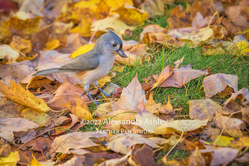 Tufted titmouse forages among fallen leaves, and finds a choice sunflower seed.