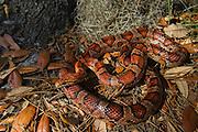 Corn Snake (Elaphe guttata), or red rat snake CAPTIVE<br /> Little St Simon's Island, Barrier Islands, Georgia<br /> USA<br /> HABITAT & RANGE: Sandhills, Pine-hardwood forests, Maritime forestss & suburban settings of Southeastern & Central USA