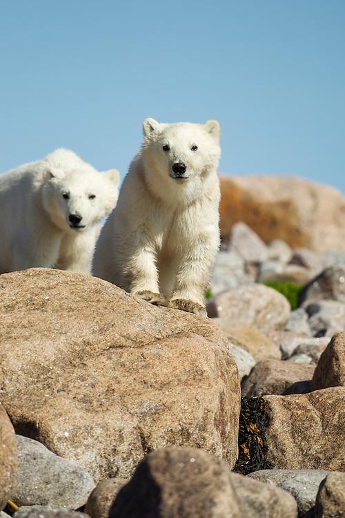 Canada, Manitoba, Polar Bear Cubs (Ursus maritimus) standing on rocky outcrop at Hubbart Point along Hudson Bay on summer morning