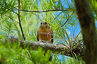 The red-shouldered hawk is one of the most common birds of prey in the Florida Everglades. This one was seen perched in a bald cypress tree while feeding on one of Florida's native panfish species.