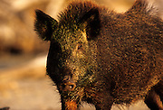 A feral pig (Sus scrofa) portrait. Aransas National Wildlife Refuge, Texas.