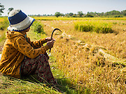 27 FEBRUARY 2015 - PONHEA LEU, KANDAL, CAMBODIA: A woman rests on the edge of her family's rice fields during the rice harvest in Kandal province, Cambodia. Kandal province is an agricultural province north of Phnom Penh.    PHOTO BY JACK KURTZ