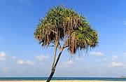 Pandanus palm trees growing on sandy beach, Nilaveli, Trincomalee, Sri Lanka, Asia