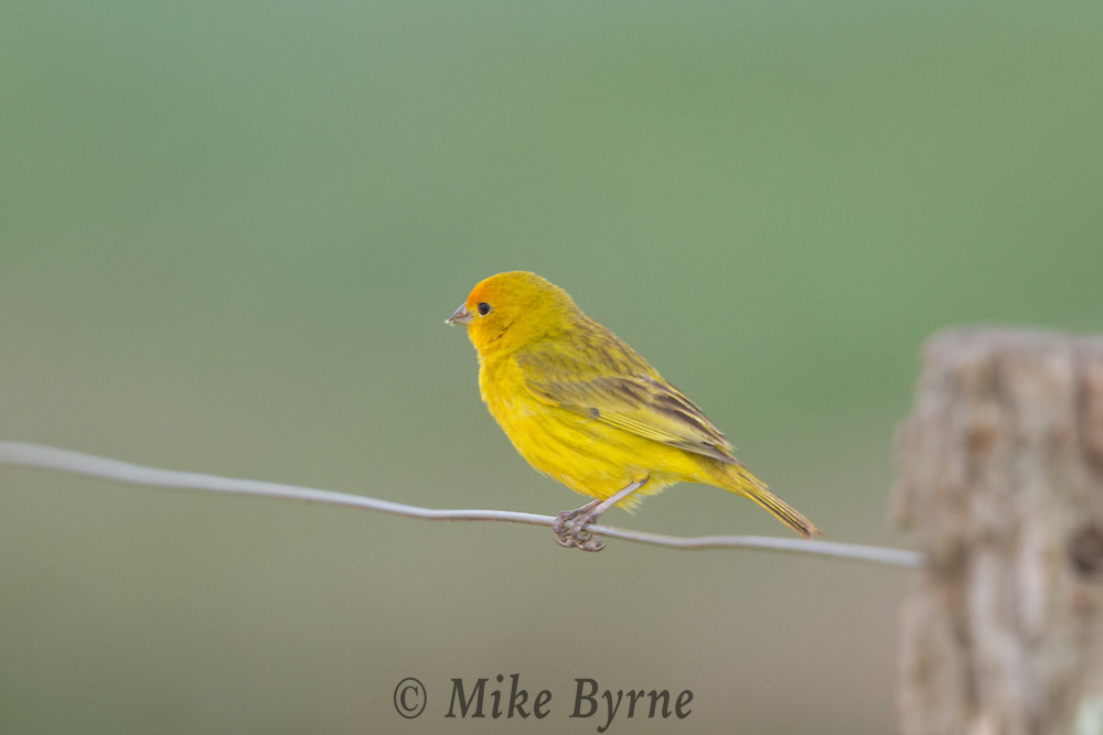 Saffron Finch (Sicalis flaveola) perched on a wire near Araras Eco Lodge (Pantanal, Mato Grosso, Brazil)