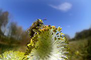 Honey bee (Apis mellifera), Kiel, Germany | Die Honigbiene (Apis mellifera) auf einem Weidenkätzchen beim Pollen sammeln. Sie ist über und über mit den Pollenkörnern bedeckt. Mit einem pollenkamm an Ihren Beinen kämmt sie die Pollenkörner von Ihrem Körper und sammelt sie rechts und links an ihren Hinterbeinen. Kiel, Deutschland