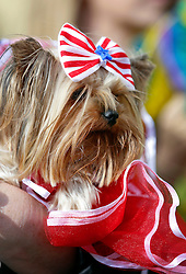31 January 2016. New Orleans, Louisiana.<br /> Mardi Gras Dog Parade. A Yorkshire Terrier at the Mystic Krewe of Barkus as the parade winds its way around the French Quarter with dogs and their owners dressed up for this year's theme, 'From the Doghouse to the Whitehouse.' <br /> Photo©; Charlie Varley/varleypix.com
