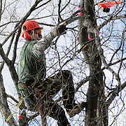 "April 18, 2009 -- BATH, Maine. Bill Guess of Trenton, Maine reaches out to ring a bell while competing in a tree climbing competition in Library Park in Bath on Saturday afternoon. Six professional arborists from around New England raced against each other in several different events. In this event climbers had to ring several bells placed in different parts of the same tree. The climber to achieve the fastest time won. Organizer Tim Lindsay of Scarborough said, ""It's a fun event and we are a supportive community . . .  we learn and are able to share best practices in safety -- while still competing against each other. "" Photo by Roger S. Duncan."