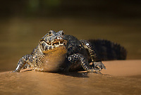 Portrait of a caiman, Caiman latirostris, on the bank of the Cuiaba River.