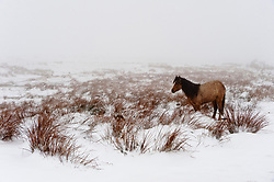 © Licensed to London News Pictures. 02/04/2018. Builth Wells, Powys, Wales, UK. A bedraggled Welsh Mountain Pony is seen in a wintry landscape at 350 metres above sea level on the Mynydd epynt range near builth Wells in Powys, Wales, UK. Photo credit: Graham M. Lawrence/LNP