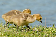 Middletown, New York - Canada goose  goslings look for food in the grass at Fancher-Davidge Park on May 10, 2015.