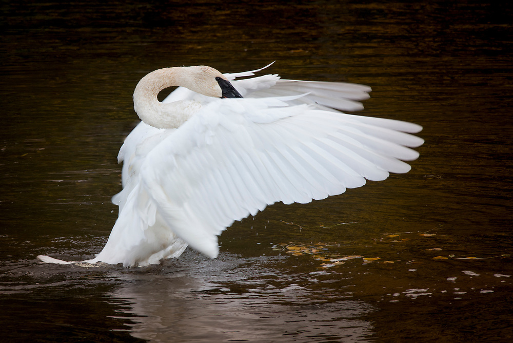 A beautiful swan flaps its wings and curves it neck to stretch out before flight.