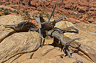 Twsted ,desert ravaged Juniper, Arches National Park, Utah.