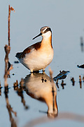 Wilson's Phalarope, Phalaropus tricolor, female, South Dakota