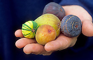 Harvested figs in hand, Ficus carica 'Panachée', 'Figue d'Or', 'Black Jack', 'Noire de Carombe' and 'Petie Negri'