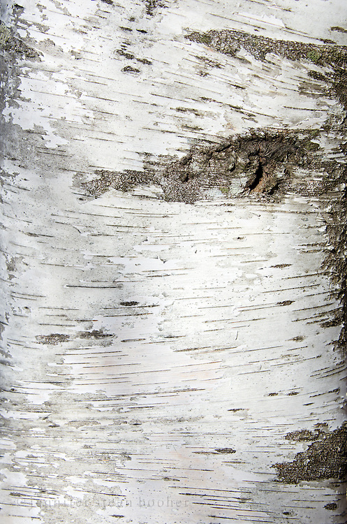 Closeup view of white Paper Birch bark (Betula papyrifera).