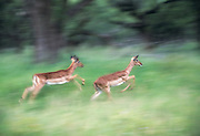 Two impala leaping away from Msinga pan water hole, Mkuze game Reserve, Zululand, South Africa