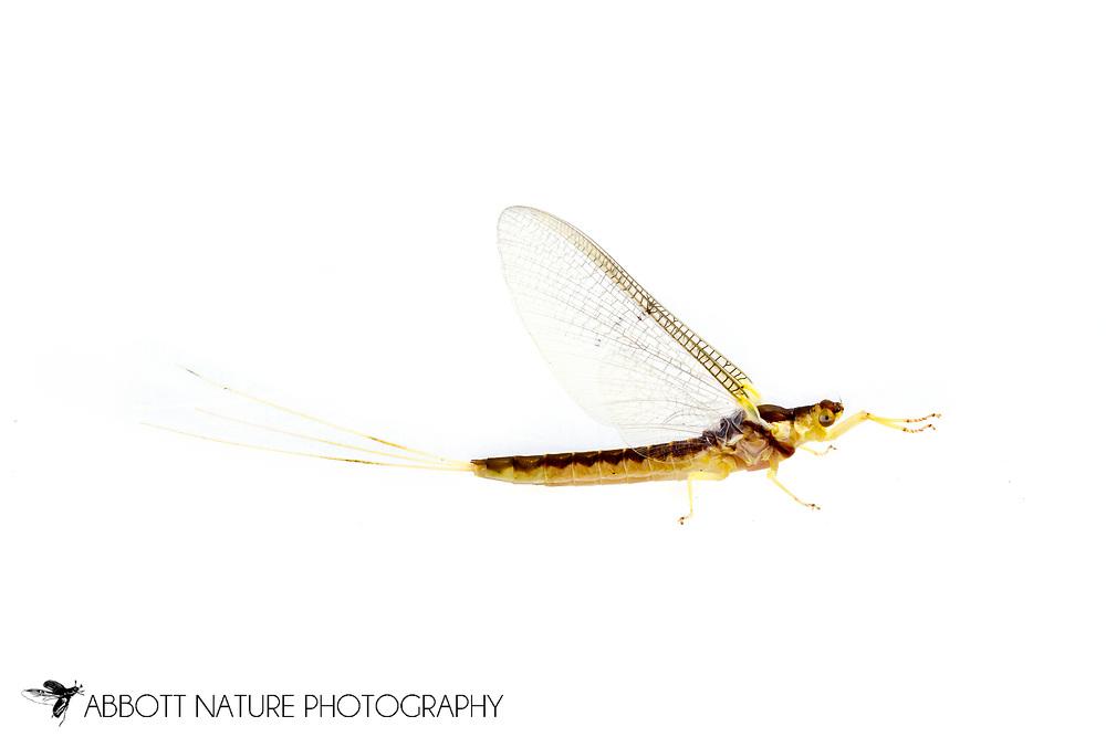 Riverbed Burrower Mayfly (Pentagenia vittigera)<br /> United States: Louisiana: Rapides Parish<br /> Hidden Treasurers RV Park<br /> Boyce<br /> 6-Apr-2017<br /> J.C. Abbott #2920