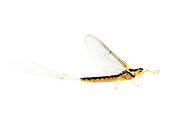 Riverbed Burrower Mayfly (Pentagenia vittigera)<br /> United States: Louisiana: Rapides Parish<br /> Hidden Treasurers RV Park<br /> Boyce<br /> 6-Apr-2017<br /> J.C. Abbott #2920