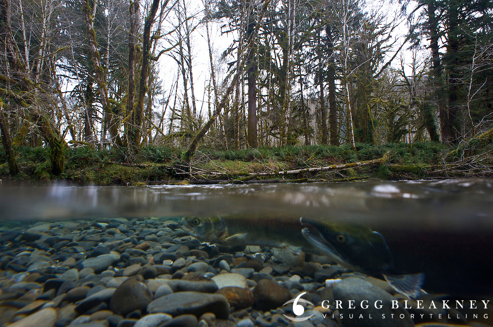 Winter Salmon Make their way upstream - Quinault Rainforest - Olympic National Park - Washington State