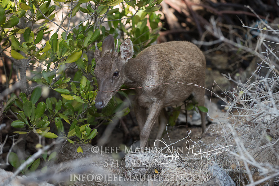 A Timor deer walks along the forest edge on Rinca Island, part of the Komodo National Park in Indonesia.