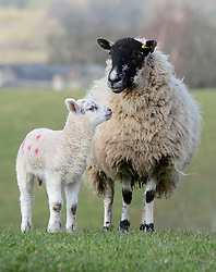 © Licensed to London News Pictures. 11/03/2016. Sedbergh, UK. A lamb with its mother in the spring sunshine near Sedbergh, Cumbria. Photo credit : Anna Gowthorpe/LNP