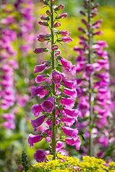 Digitalis purpurea 'Dalmatian Purple' (Dalmatian Series). Foxglove