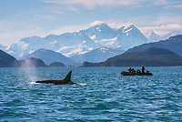 Killer whale next to a zodiac with Mount La Perouse in the background at the Inian Islands in Southeast Alaska.