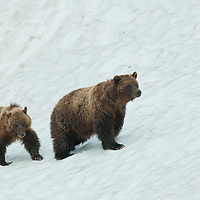 grizzly sow cub walking snow bank