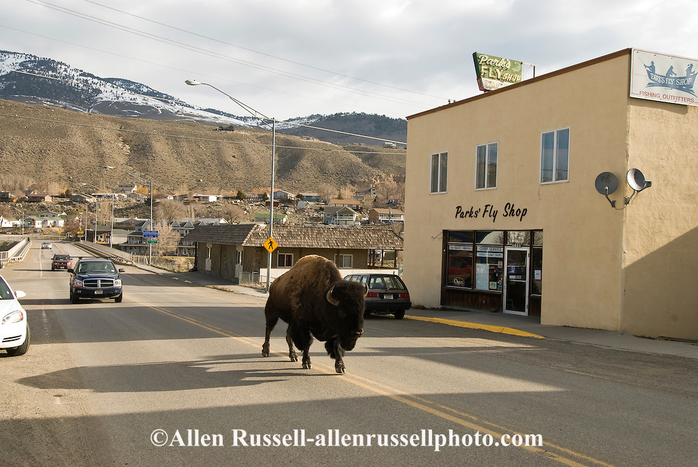 Bison, (bison bison), walks down highway, Gardiner, Montana, Northern entrance to Yellowstone National Park
