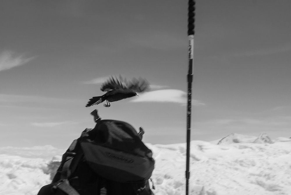 An alpine crow flying over a backpack, summit of Western Breithorn