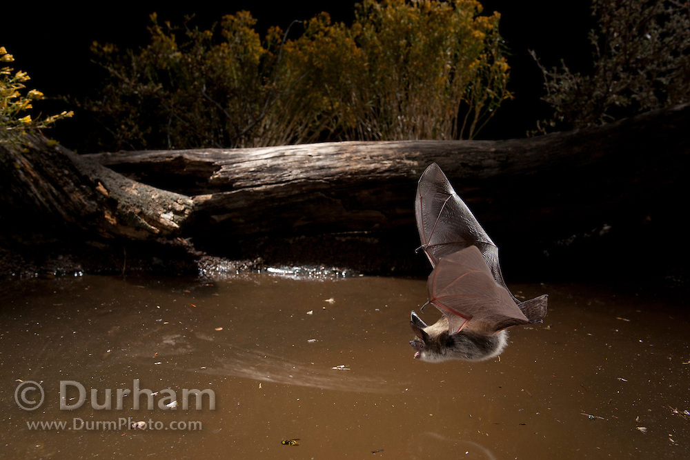 A wild bat comes down to a small watering hole in the high-desert of Central Oregon. © Michael Durham / www.DurmPhoto.com