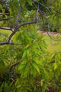 Naio, Myoporum sandwicense,  Maui Nui Botanical Gardens, Kahului, Maui, Hawaii