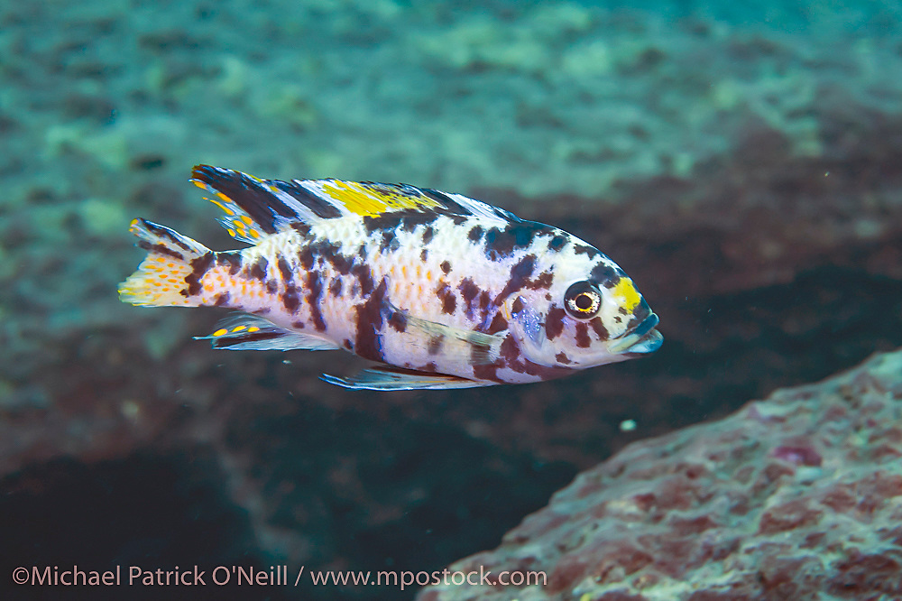 A male Metriaclima sp. Zebra Cichlid swims near Taiwanee Reef, Lake Malawi, Malawi, Africa. This coloration for males is unusual and in the aquarium trade is referred to Marmalade Cat or OB for Orange Blotched.