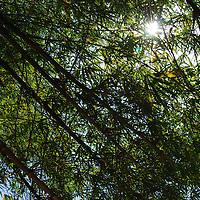 Bambus en la selva de Birongo, Edo. Miranda. Venezuela