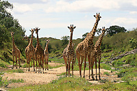 Giraffes drink water together. They get vulnerable while drinking because they have to spread the front legs and lower the head then the other family member will be alert and will alternate drinking and surveillance. Here the whole family is alert and stopped drinking just after the alert was given.