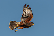 Juvenile Harris's hawk accelerates in sudden takeoff, © 2011David A. Ponton