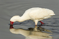 African Spoonbill feeding in the shallow waters of a wetland, Agulhas Plain, Overberg, Western Cape, South Africa