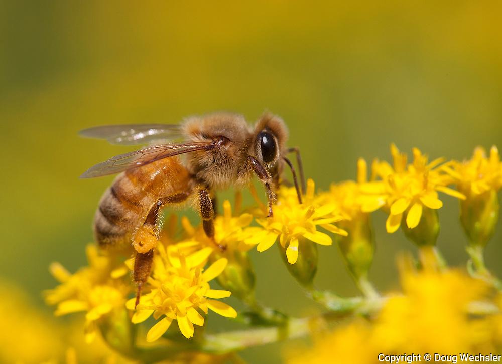 Honey Bee; Apis melifera; on goldenrod; PA, Philadelphia; Morris Arboretum