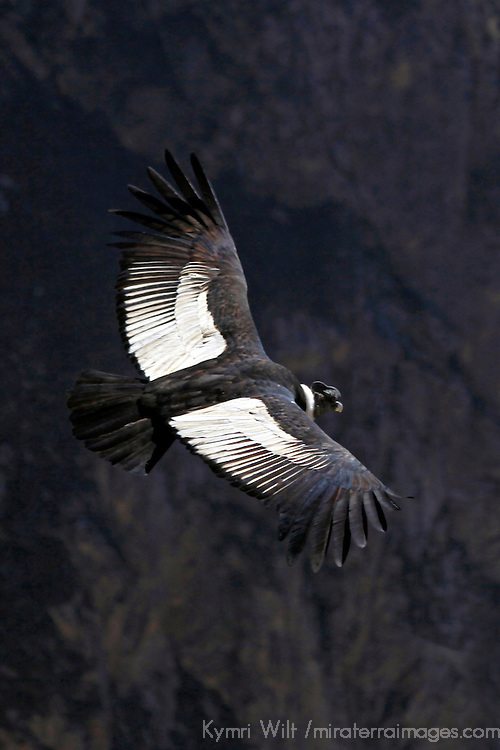 South America, Peru, Colca Canyon. Mature Male Andean Condor.