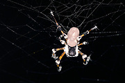 Unidentified spider from Tanjung Puting National Park, Kalimantan, Borneo.