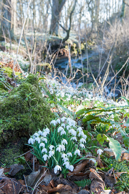 Galanthus cv (snowdrops) by the Cambo Burn in the Woodland Walk. Cambo Gardens, Fife, Scotland