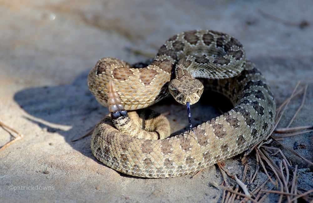 Western diamond back rattlesnake, MT.