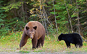 American black bear (Ursus americanus) . Cinnamon phase. <br />Prince Albert National Park<br />Saskatchewan<br />Canada