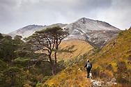 Hiker on footpath through wooded glen towards Beinn Eighe ridge, Torridon, Scotland